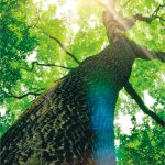 Baum von unten, der Blick durch die Baumkrone in den Himmel. Sonnenstrahlen durchfluten die Blätter.